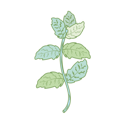 allspice: peppermint plant ingredient to condiment of food