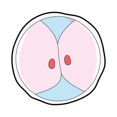 Cartoon illustration of biology genetic embryo cells division