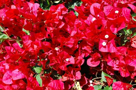 a red bougainvillea bush close-up with detailed view Stock Photo
