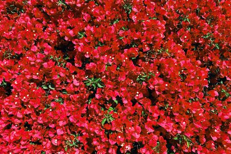 a bright red bougainvillea hedge at a distance view