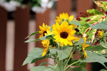 beautiful small yellow sunflowers on a bright sunny day in front of a brown fence Stock Photo