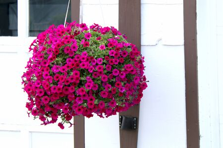 a hanging basket of bright red magenta flowers with a white wall background
