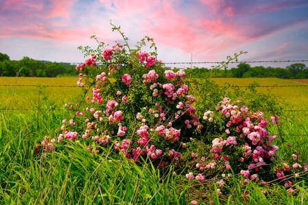 tall green grass with roadside wildflowers pink white and red in front of a rural country barbed wire fence with sunset sky beyond shot as a landscape scene