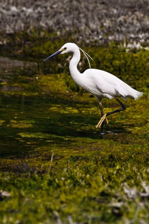 wading: Egretta Thula wading in a swamp (4)
