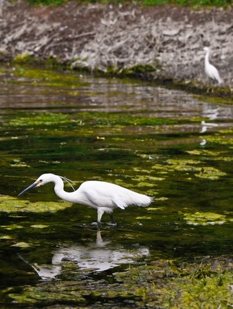 wading: Male and female egretta thula wading in a swamp (3)