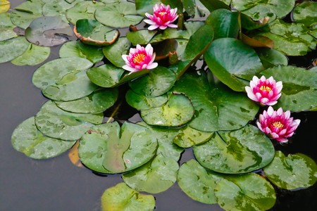 Pink lotus flowers in pond