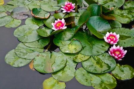 lake flowers: Pink lotus flowers in pond