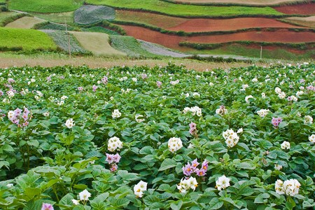 Potato fields with colourful terraced fields in background (2) photo