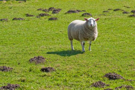Texel sheep standing in lush grass field (1) photo