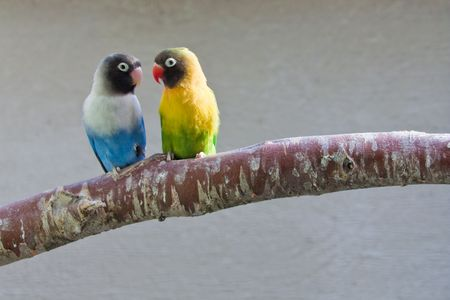 Masked Lovebirds sitting on tree branch, looking at each other