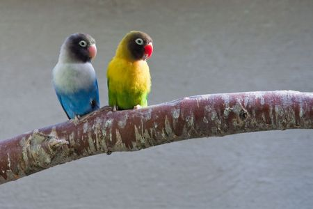 exotic pet: Masked Lovebirds sitting on tree branch, looking right