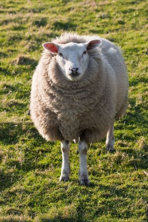 Texel sheep standing on grass field photo