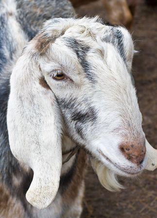 White Nubian Goat photo