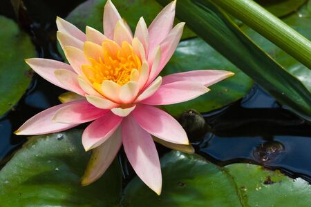 lotus flower and leaves in pond (2) Stock Photo - 6129715