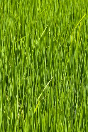 closeup of lush green rice paddy photo