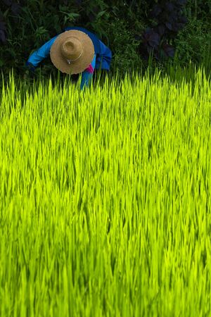 old woman with straw hat working in rice paddy photo