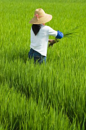 local woman with straw hat working in rice paddy photo