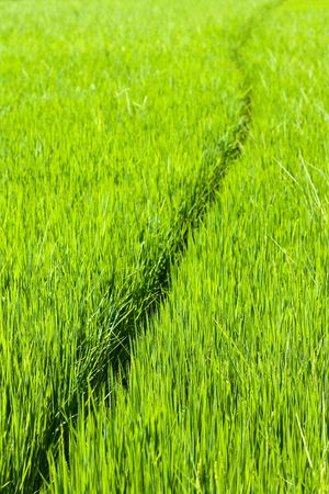 path curling through lush green rice paddy photo