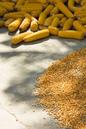 drying corn cobs: corn cobs and maize drying in sun at farm