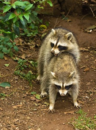 Two raccoons mating Stock Photo