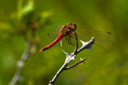 Red dragonfly sitting on a branch (green background) photo