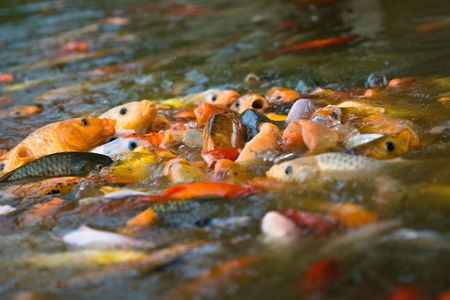 kohaku: school of japanese koi fish feeding (1) Stock Photo