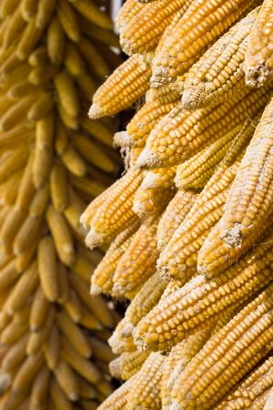 drying corn cobs: golden corn cobs hanging in the sun to dry (vertical)