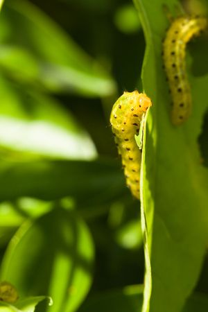 yellow caterpillars eating leaves of green plants