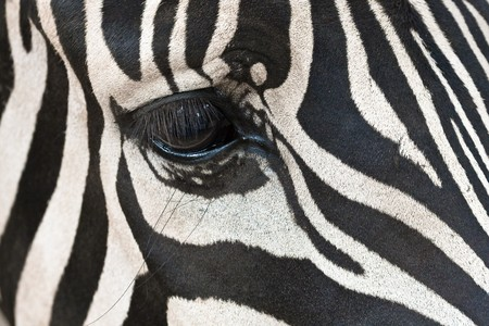 closeup of a zebras eye hidden in the stripes