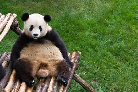panda bear resting on bamboo bench with green grass in background Stock Photo - 6866558