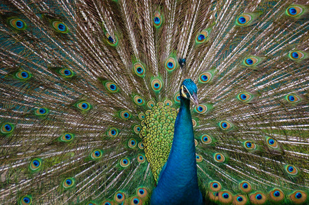 pluma de pavo real: Pride of a Peacock