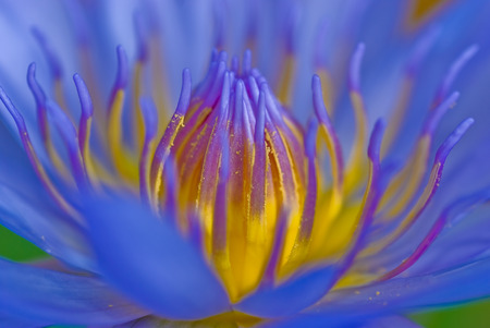 Blue waterlily in a pond Stock Photo
