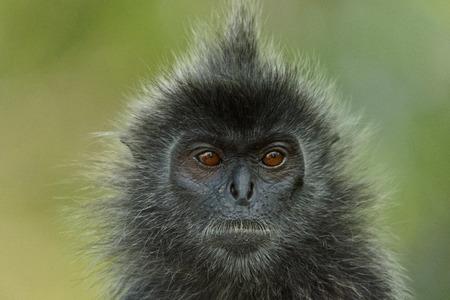 Portrait of a silver-leaf monkey