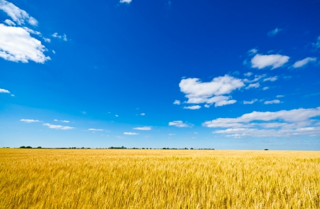 grain fields: Golden wheat field and blue sky Stock Photo