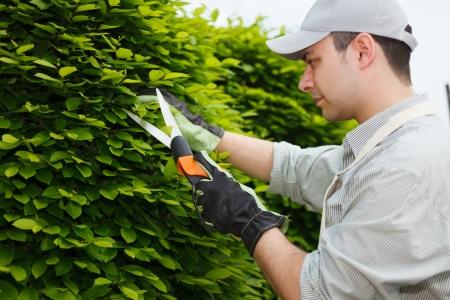 pruning: Professional gardener pruning an hedge Stock Photo