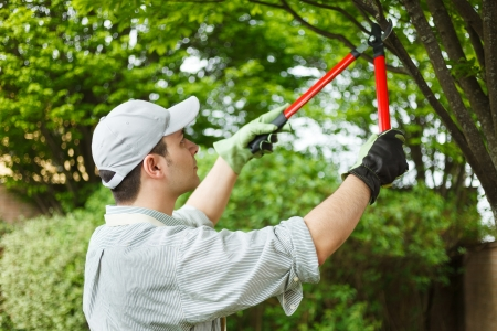 hedges: Professional gardener pruning a tree