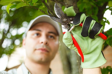 tree trimming: Professional gardener pruning a tree