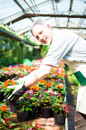 Gardener taking a plant in a greenhouse photo