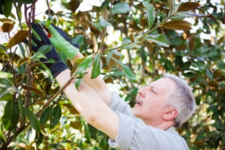 pinch: Professional gardener pruning a tree