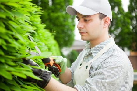 tree trimming: Professional gardener pruning an hedge Stock Photo