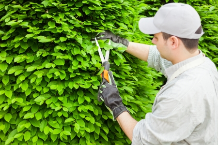 tree cutting: Professional gardener pruning an hedge Stock Photo