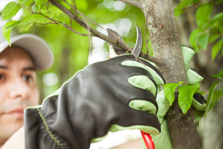 Close-up of a professional gardener pruning a tree 스톡 콘텐츠