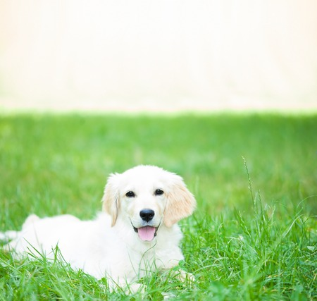 grass: Portrait of a lovely golden retriever puppy. Bright copy-space on the upper part of the image