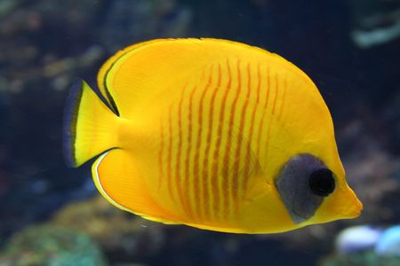 Tropical Fish (parachaetodon)
