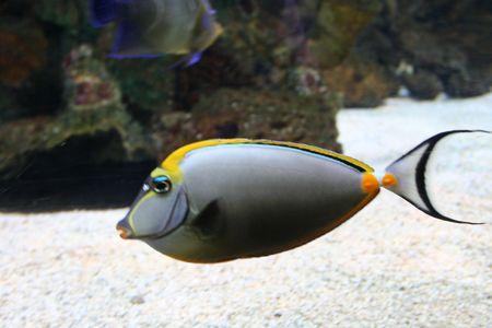 Les poissons tropicaux, surheon (Acanthurus)  Banque d'images