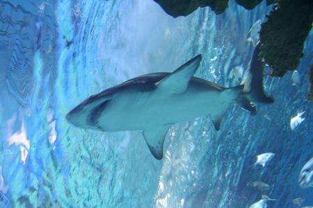 Dans le cadre du Shark  Banque d'images