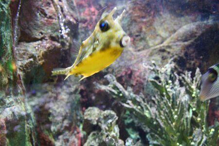 exotic fish: Pescados Ex�ticos (Canthigaster)