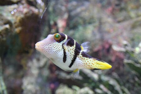 corall: Exotic Fish (Canthigaster) Stock Photo