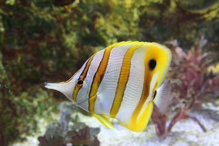 exotic fish: Peces ex�ticos, Angel-Fish (parachaetodon ocellatus)