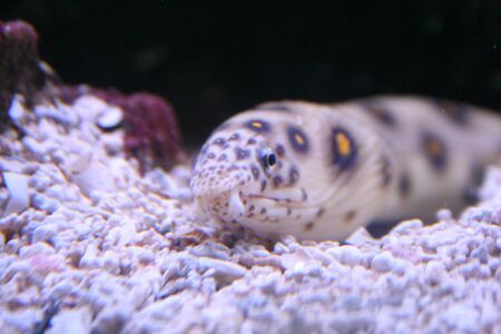Exotic fish, muraena Stock Photo - 595419